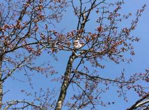 望の森の桜の標本木。ちょっと斜めになっていて頼りなさげですが、今年も花をつけました。